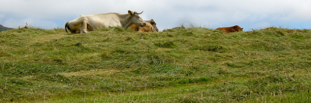 Cattle in the Hay on the Ring of Beara