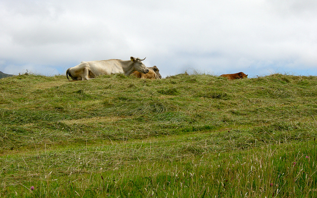 Cows on the Ring of Beara