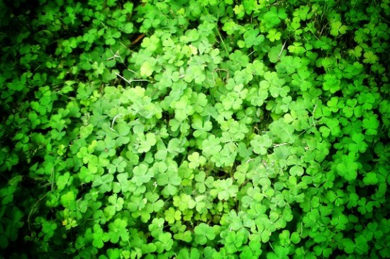 shamrocks at Anne's Grove Garden