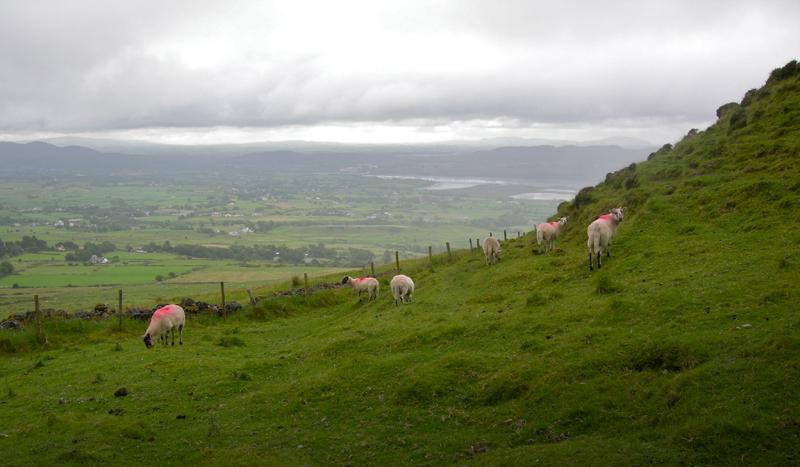Sheep on the way up Knocknarea.