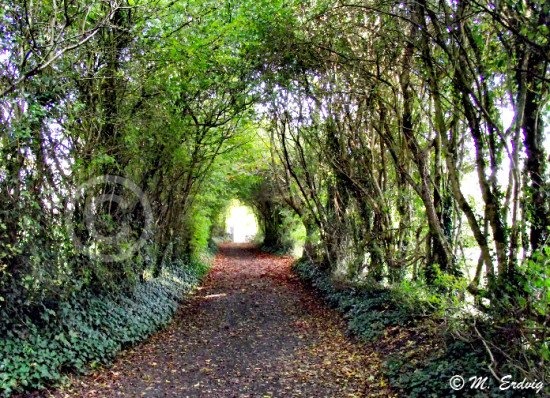 Bunratty Tree Tunnel