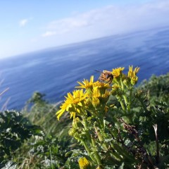 Postcard from Ireland: Bee on the Aran Islands