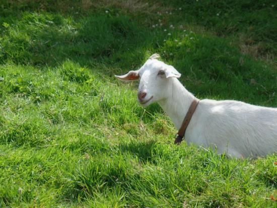 goat of Dunloe